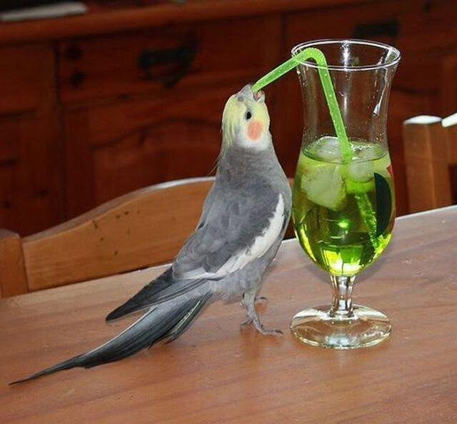 Parrot trying to drink thru straw | Cute birds, Pet birds, Cockatiel