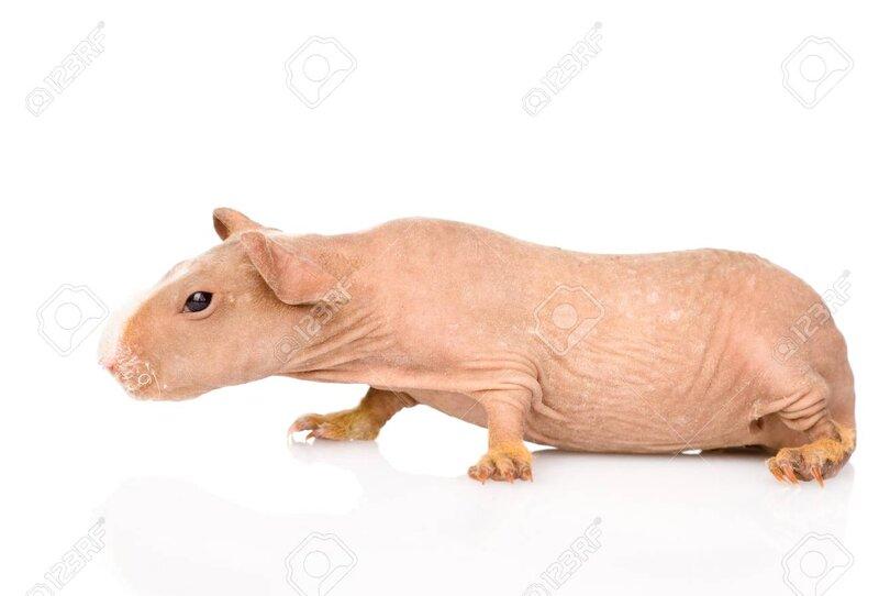 28374518-skinny-guinea-pig-lying-in-prof
