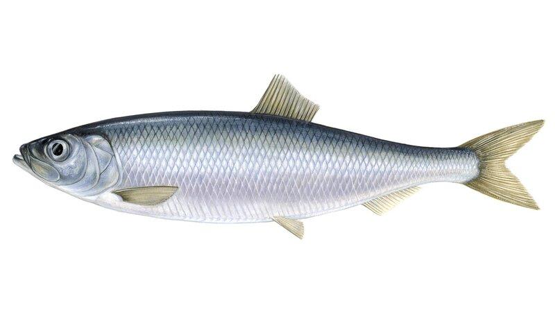 herring.jpg?sfvrsn=d1da5a4c_4