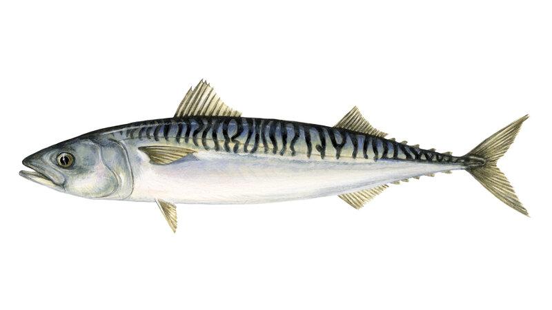 mackerel.jpg?sfvrsn=c41fb72d_4
