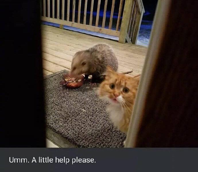 j5i8w-cat-upset-about-opossum-eating-its